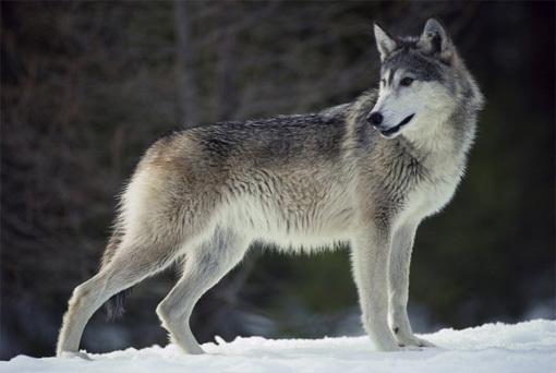 ulvesporbig