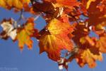 Høstblader_150x100