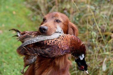 Årets Lavlandshund - Red Garlic`s Pralin_640x427