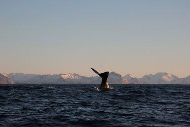 Hvalen dykker
