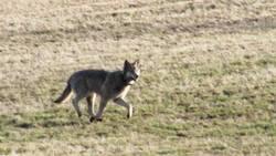 Ulven som ble observert på Nesodden i april