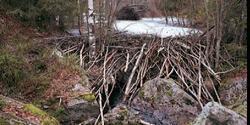 Beverdemning i nordenden av Aurtjernet i Østmarka naturreservat