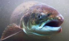 ikkeoppdrettsfiskforside