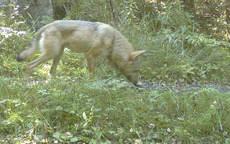 Ulven i Østmarka tatt med viltkamera