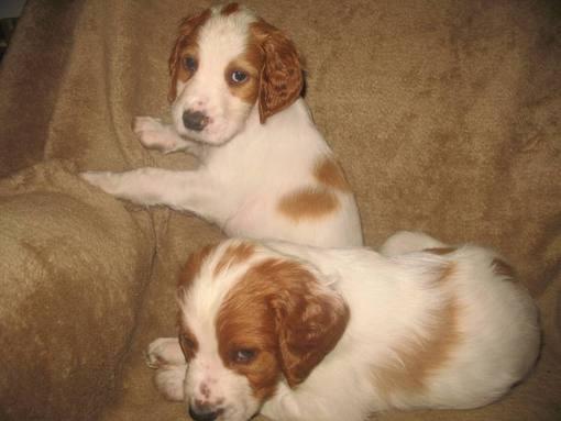 dog puppies 6 weeks 051_510x383.jpg