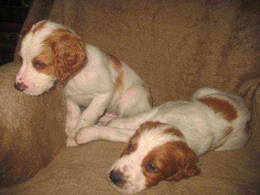 dog puppies 6 weeks 054_510x383.jpg