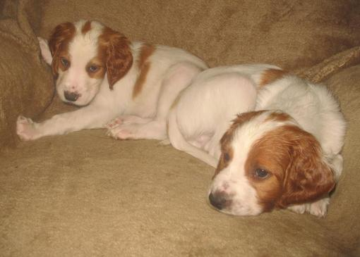 dog puppies 6 weeks 076_510x365.jpg