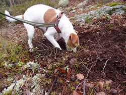 Frank Alm Haugen. Parson Russel-terrieren Stratos er egentlig en jakthund, men nå er han blitt spesialist på å finne trøfler.
