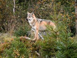 Ivar Johannes Knai. Det bor nå etter alt å dømme tre ulver i Østmarka, etter at tispa som fødte valper i 2013 ser ut til å være forsvunnet.