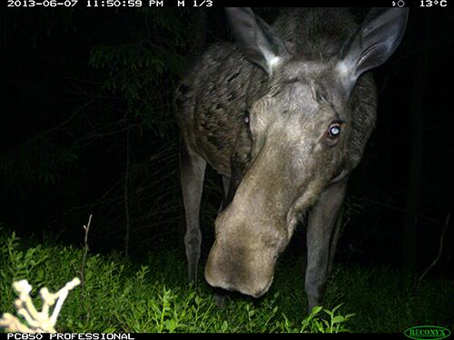 Viltkamera elg-1.jpg