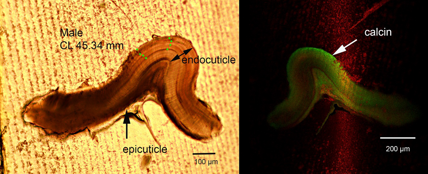 Figure 1. Age bands in a section of a zygo-cardiac ossicle in the gastric mill of a red king crab. Left: Male crab at 45 mm CL with four age bands (combination of light and dark band makes one likely annual band), marked with green circles. Right. Same section under fluorescent light showing the calcein-mark in the outer (growing) edge of the endocuticle. The light green shading throughout the section is autofluorescence.