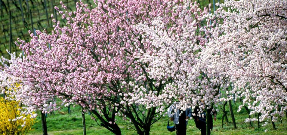Mandel blom Pfalz_A4