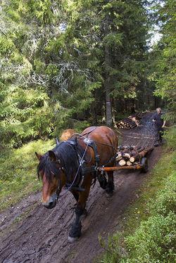 Roy Holt kjører ut tømmer fra Lutdalen på gammelmåten. Foto: Espen Bratlie.