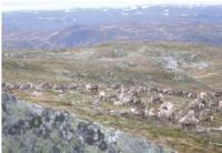 Viltrein på Hardangervidda