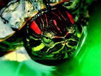 Illustrasjon av skildpadde