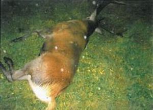 Skutt hjort
