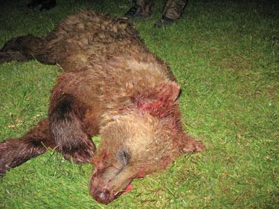 Skutt bjørn