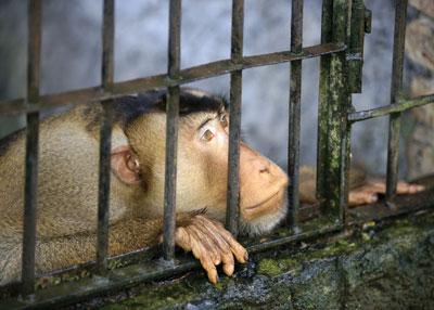 Illustrasjonsbilde av en fanget ape