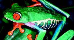 Eksotisk froskeart