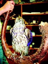 Norsk rovfugl