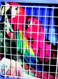 Papegøye i bur