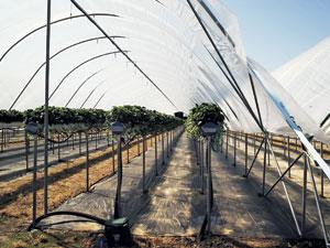 Jordbærplantasje