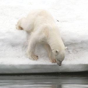 Isbjørn som leter etter fisk
