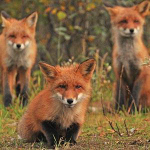 Rødrevvalper (Vulpes vulpes), Songa i Vinje.