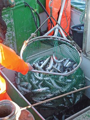 Her pumpes makrell fra not