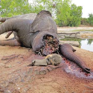 Drept elefant