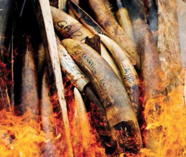 Elfenben i brann