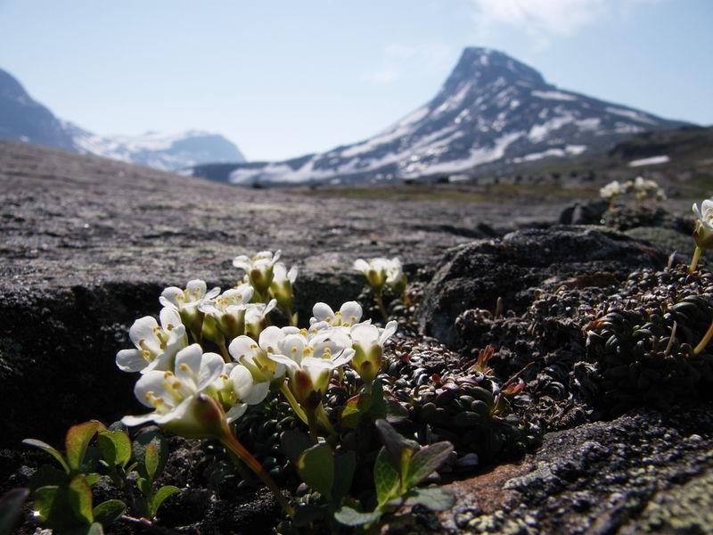 Tuesildre og fjelltopp
