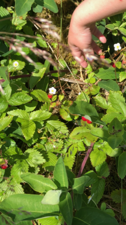 Plukke markjodbær