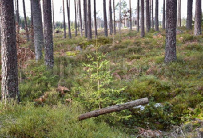 Skogplanting