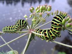 Larvene er store og grønne, med svarte bånd som har oransje prikker. Foto: Dag Øivind Ingierd.