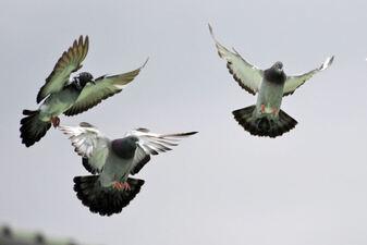 tre grå duer i flukt