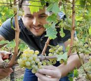 Vinmaker Marius Meyer høster Sauvignon Blanc i Pfalz.