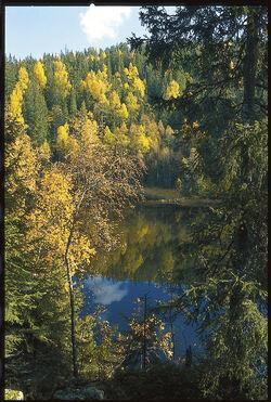 Nordre Follo kommune og «skogvokter» Reidar Haugen har tatt så godt vare på kommuneskogen at den kan bli nasjonalpark. Her høststemning ved Svartoren. Foto: Sverre M. Fjelstad.
