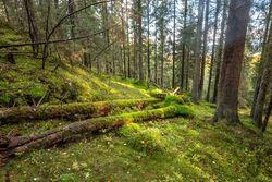 Slik så det ut i skogen før hogsten. Bildet er tatt der NOAs biolog fant en rødlistet soppart. Foto: Bjørnar Thøgersen, ØV.