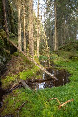Østmarka inneholder mye gammel granskog som fortjener et nasjonalt vern. Her er vi i nærheten av Langvannet. Foto: Bjørnar Thøgersen.