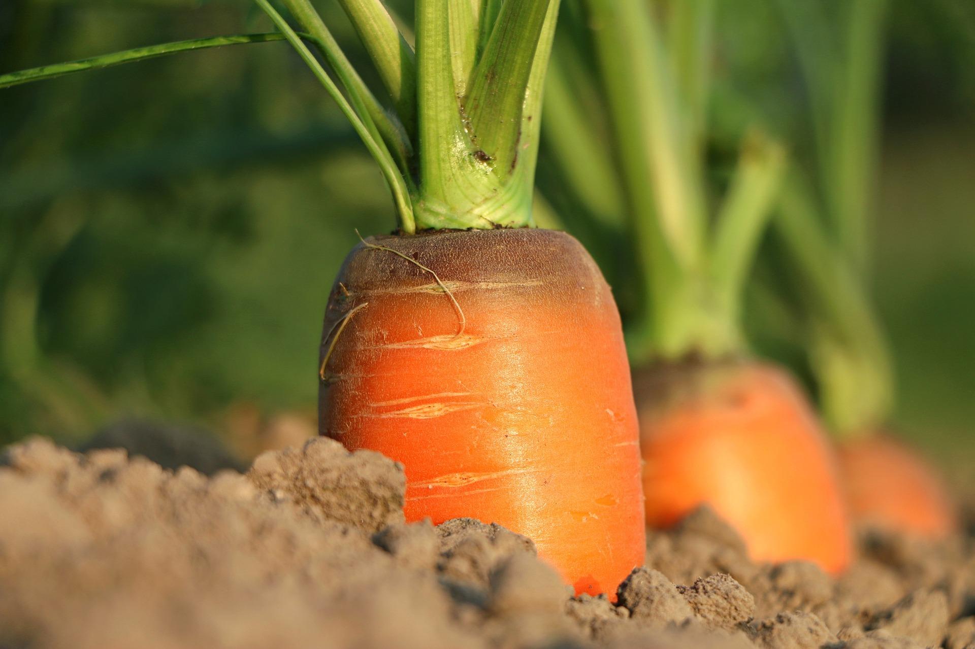 carrot  1565597  1920  2