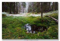 De som besøker Tretjernhøla om sommeren, kan oppleve den gamle gran- og furuskogen omkring de tre myrtjernene som har gitt området navn. Foto: Espen Bratlie.