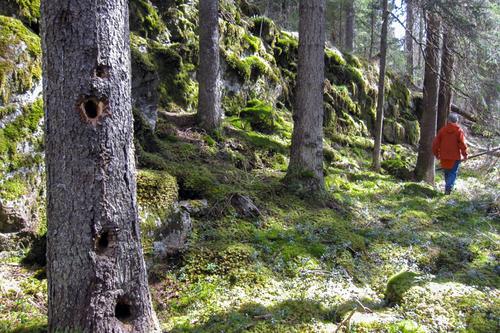 Gammelskog sør for Eriksvann, med svartspettens «stabburstre». Foto: Sigmund Hågvar.