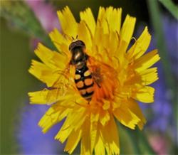 Vanlig markblomsterflue: En middelstor art som er en av de vanligste blomsterflueartene i Norge. Foto: Tore Randulff Nielsen.