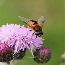 Hagedroneflue er utbredt i Sør-Norge og videre nordover langs kysten til Rana. Foto: Tore Randulff Nielsen.