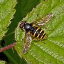 Myrtigerflue er blant de vanligste blomsterfluene om sommeren, men er mest vanlig i Sør-Norge. Foto: Frank Strømmen.